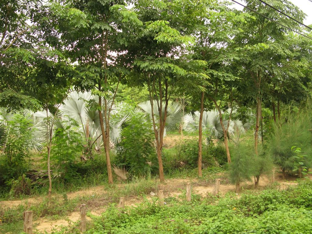 Palmplantages