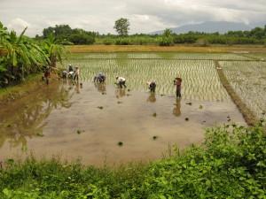 Druk bezig op de rijstvelden